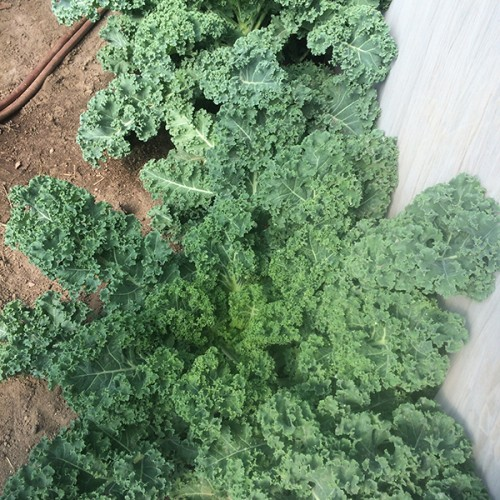 RaCo Life Caoba Farms Curly Kale